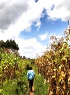 Bramwel leading the way through the maize fields to his mom's house.